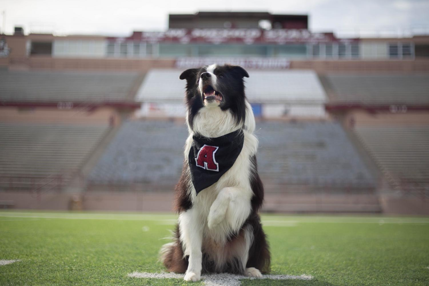 New Mexico's goodest boy poses on the field of his second home, the Aggie Memorial Stadium.