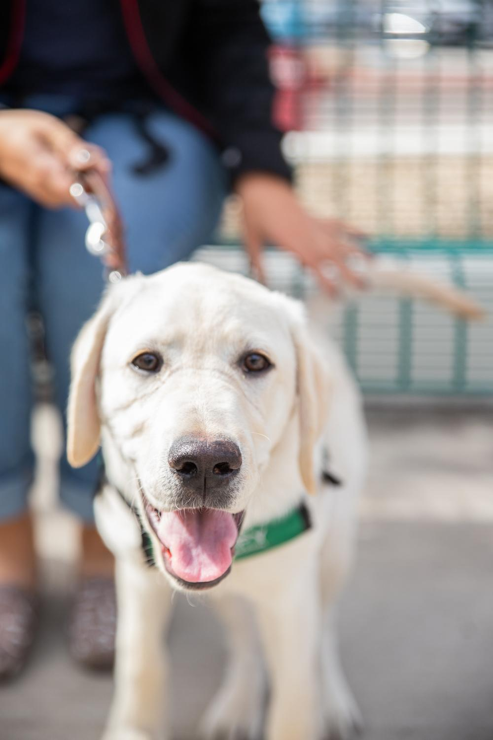 Scooby, a yellow labrador, is in training to be a guide dog for the blind.
